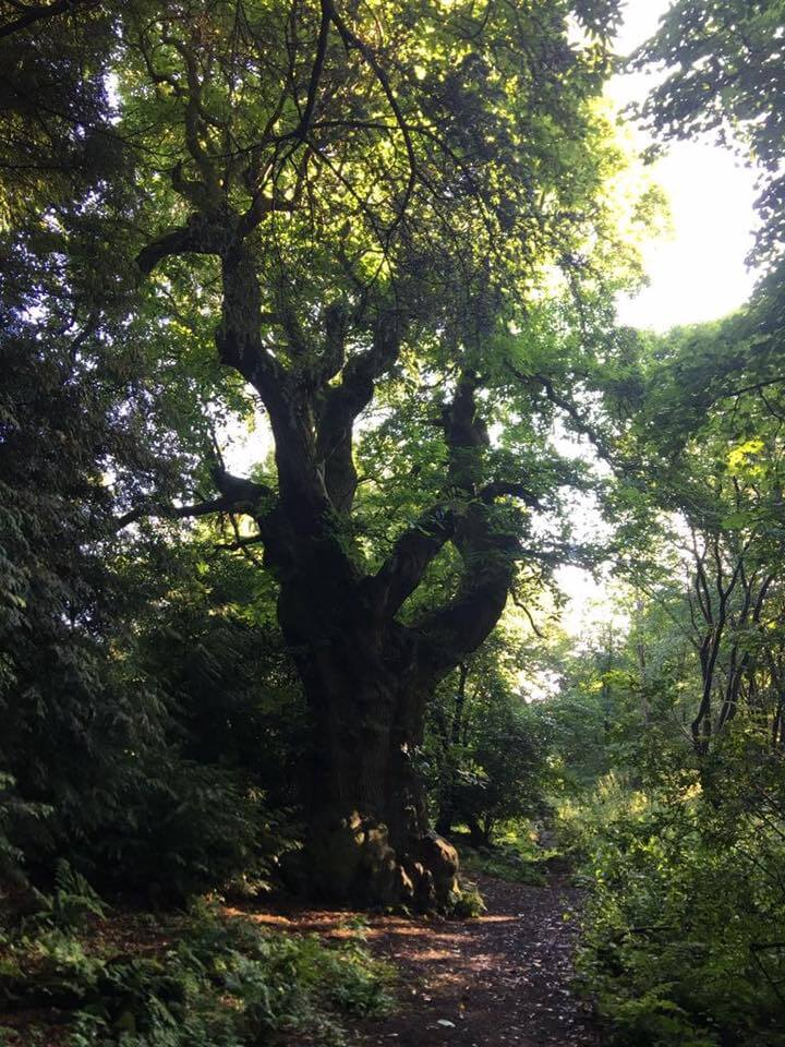 Walking by one of the oldest trees in Great Britain